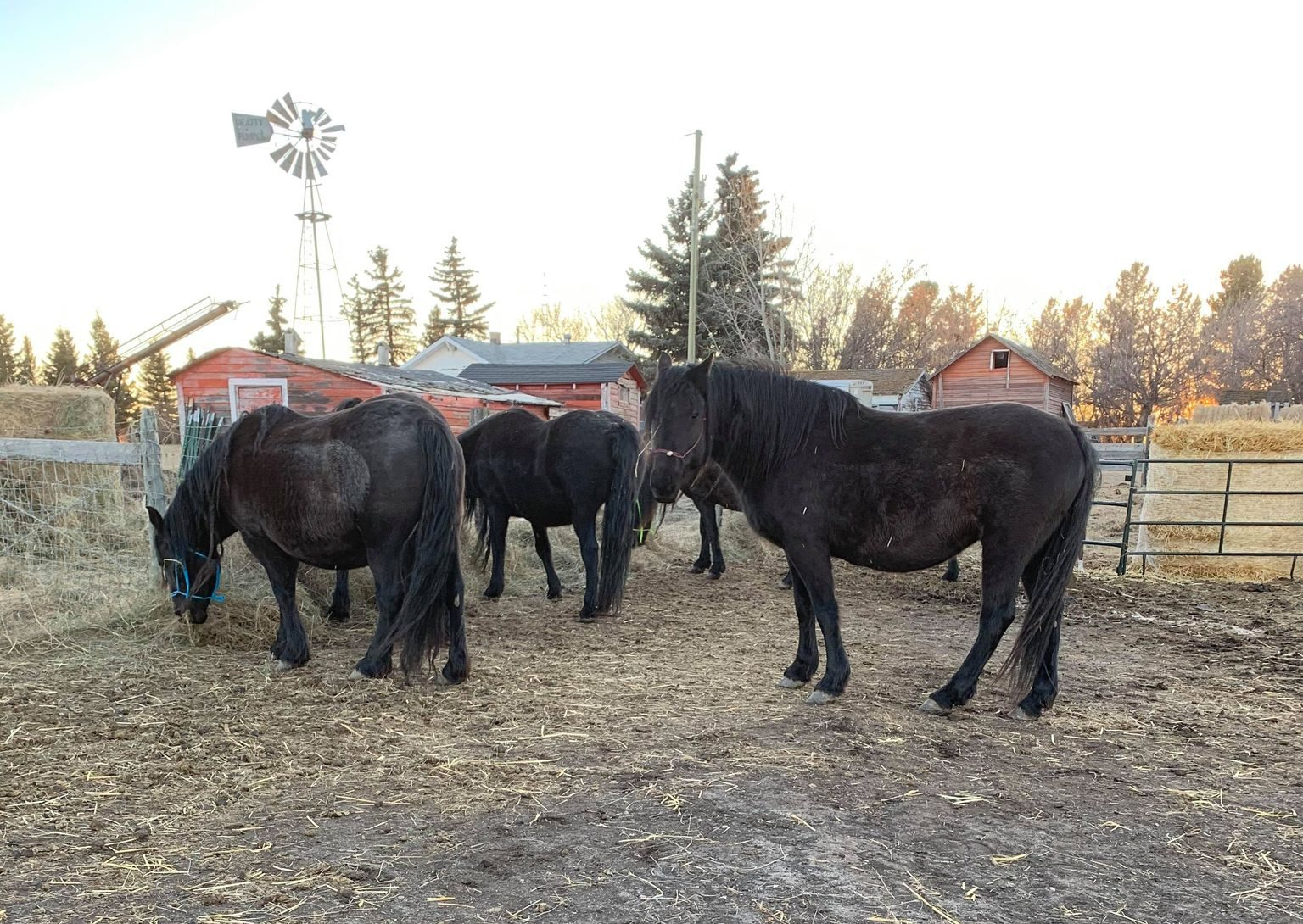 """Rimbey Mares"" – Adopted!"